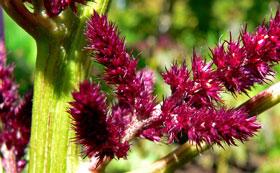 amarantus-właściwości-lecznicze